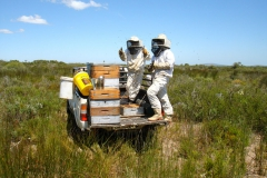 Harvesting-honey54451396251a8