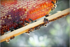 Honey-Comb-in-Frame-with-bees1