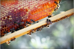 Honey-Comb-in-Frame-with-bees54451397a96e2